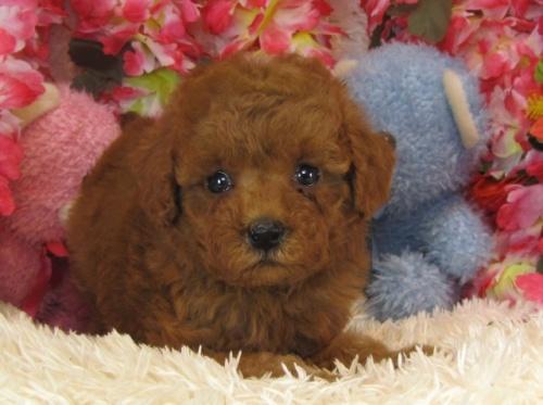 トイプードルの子犬(ID:1249511736)の2枚目の写真/更新日:2017-01-23