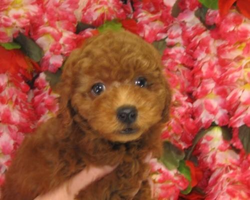 トイプードルの子犬(ID:1249511737)の2枚目の写真/更新日:2017-01-23
