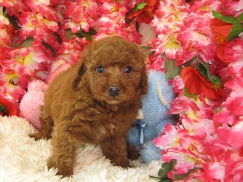 トイプードルの子犬(ID:1249511739)の2枚目の写真/更新日:2017-02-04