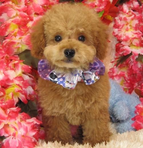 トイプードルの子犬(ID:1249511740)の1枚目の写真/更新日:2017-02-04