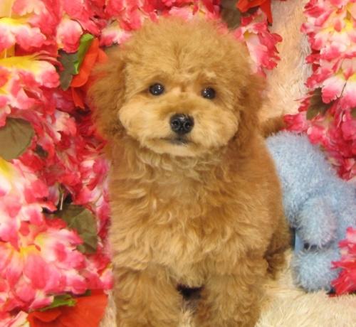 トイプードルの子犬(ID:1249511740)の2枚目の写真/更新日:2017-02-04