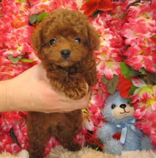 トイプードルの子犬(ID:1249511741)の2枚目の写真/更新日:2017-02-04