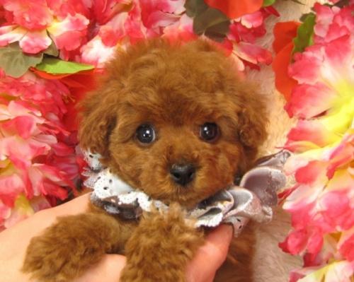 トイプードルの子犬(ID:1249511742)の1枚目の写真/更新日:2017-02-04