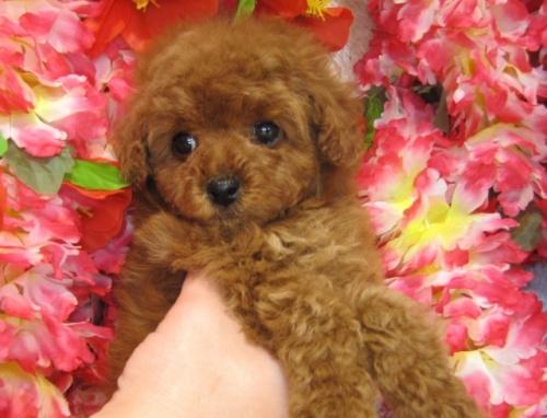 トイプードルの子犬(ID:1249511742)の2枚目の写真/更新日:2017-02-04