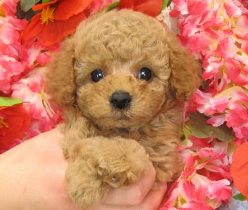 トイプードルの子犬(ID:1249511743)の2枚目の写真/更新日:2017-02-04