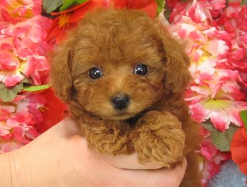 トイプードルの子犬(ID:1249511744)の1枚目の写真/更新日:2017-02-10