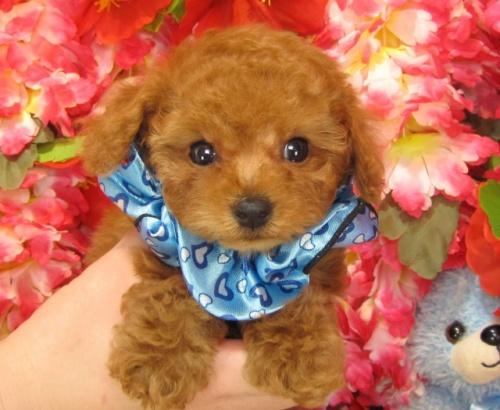 トイプードルの子犬(ID:1249511745)の1枚目の写真/更新日:2017-02-10
