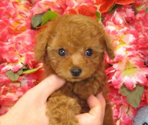 トイプードルの子犬(ID:1249511745)の2枚目の写真/更新日:2017-02-10