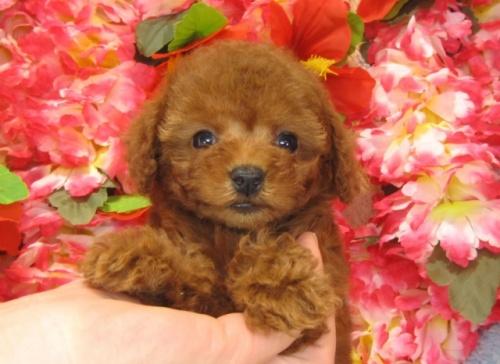 トイプードルの子犬(ID:1249511746)の3枚目の写真/更新日:2017-02-13