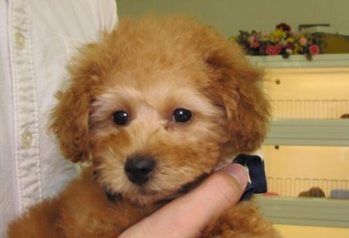 トイプードルの子犬(ID:1249511747)の1枚目の写真/更新日:2017-02-13