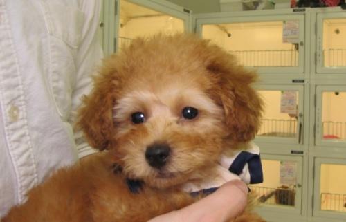 トイプードルの子犬(ID:1249511747)の2枚目の写真/更新日:2017-02-13