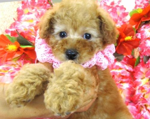 トイプードルの子犬(ID:1249511747)の3枚目の写真/更新日:2017-03-03