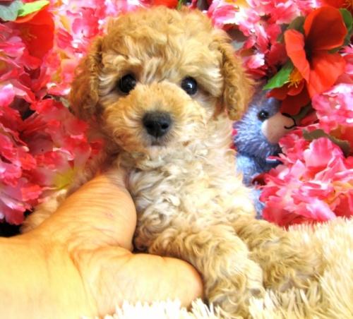 トイプードルの子犬(ID:1249511749)の1枚目の写真/更新日:2017-02-13