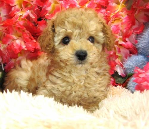 トイプードルの子犬(ID:1249511749)の2枚目の写真/更新日:2017-02-13