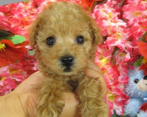 トイプードルの子犬(ID:1249511750)の1枚目の写真/更新日:2017-02-13