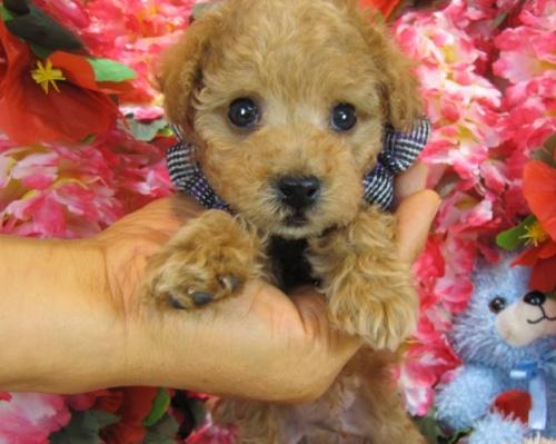 トイプードルの子犬(ID:1249511750)の2枚目の写真/更新日:2017-02-13