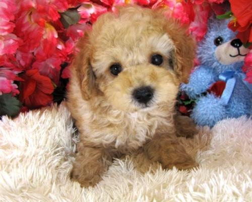トイプードルの子犬(ID:1249511751)の3枚目の写真/更新日:2017-02-13