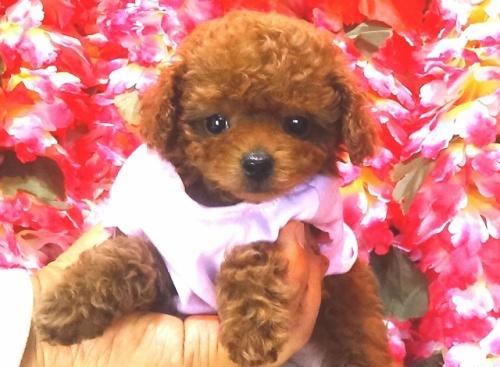 トイプードルの子犬(ID:1249511752)の1枚目の写真/更新日:2017-02-20