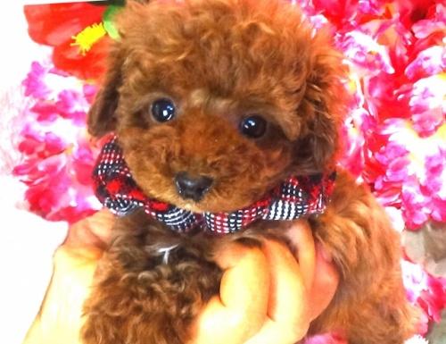 トイプードルの子犬(ID:1249511752)の2枚目の写真/更新日:2017-02-20
