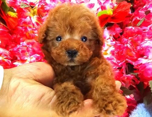 トイプードルの子犬(ID:1249511754)の1枚目の写真/更新日:2017-02-20
