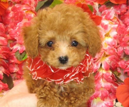 トイプードルの子犬(ID:1249511755)の1枚目の写真/更新日:2017-03-03