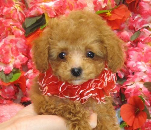 トイプードルの子犬(ID:1249511755)の3枚目の写真/更新日:2017-03-03