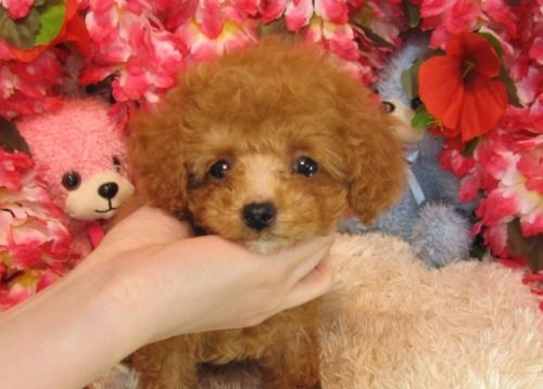 トイプードルの子犬(ID:1249511755)の4枚目の写真/更新日:2017-03-03