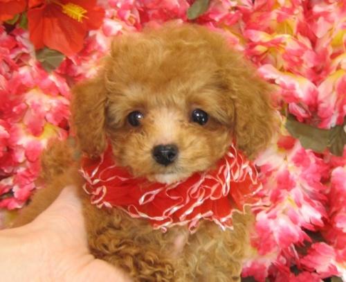トイプードルの子犬(ID:1249511755)の5枚目の写真/更新日:2017-03-03