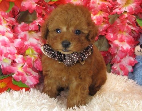 トイプードルの子犬(ID:1249511756)の2枚目の写真/更新日:2017-03-03