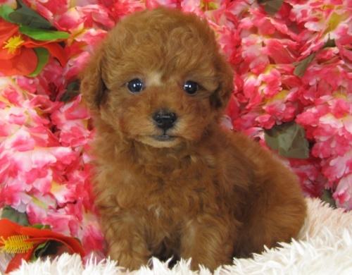 トイプードルの子犬(ID:1249511756)の3枚目の写真/更新日:2017-03-03