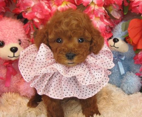 トイプードルの子犬(ID:1249511757)の1枚目の写真/更新日:2017-03-03