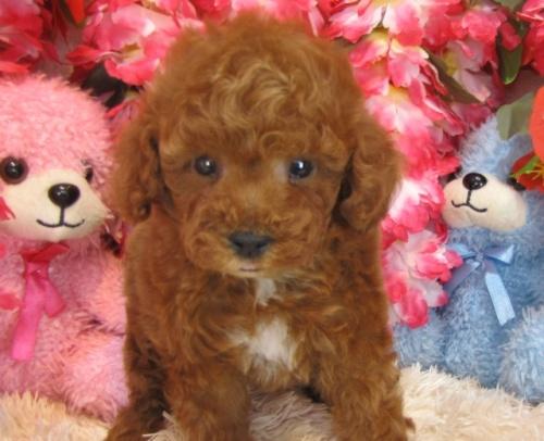 トイプードルの子犬(ID:1249511757)の2枚目の写真/更新日:2017-03-03