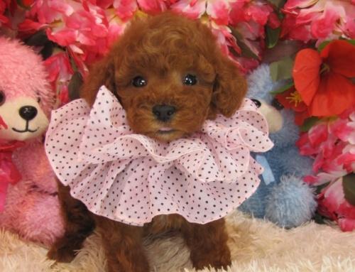 トイプードルの子犬(ID:1249511757)の3枚目の写真/更新日:2017-03-03