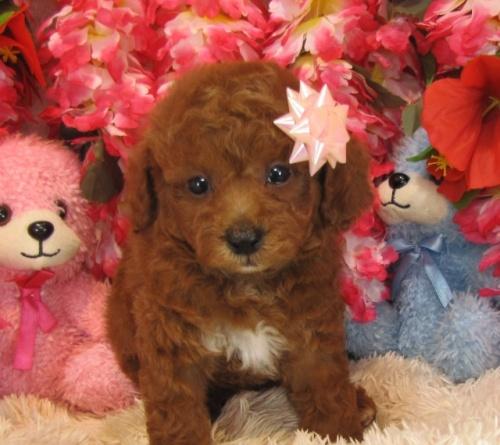 トイプードルの子犬(ID:1249511758)の1枚目の写真/更新日:2017-03-03