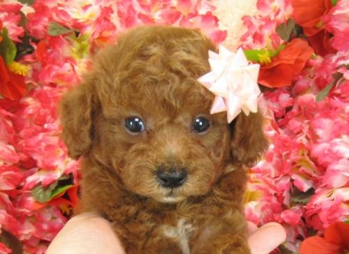 トイプードルの子犬(ID:1249511758)の2枚目の写真/更新日:2017-03-03