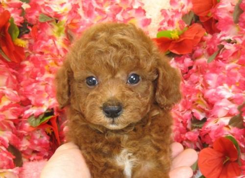 トイプードルの子犬(ID:1249511758)の3枚目の写真/更新日:2017-03-03