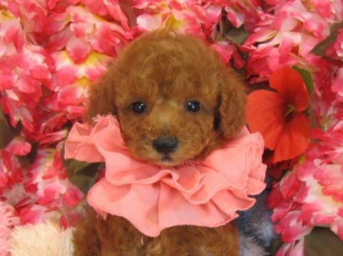 トイプードルの子犬(ID:1249511759)の1枚目の写真/更新日:2017-03-03