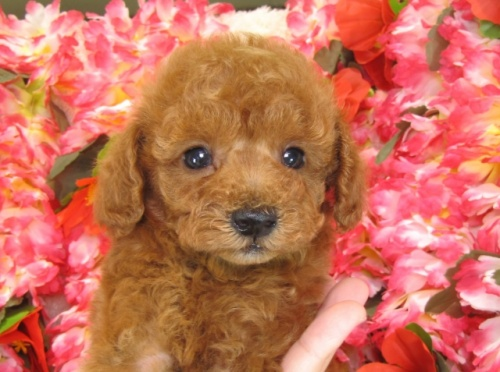 トイプードルの子犬(ID:1249511759)の3枚目の写真/更新日:2017-03-03