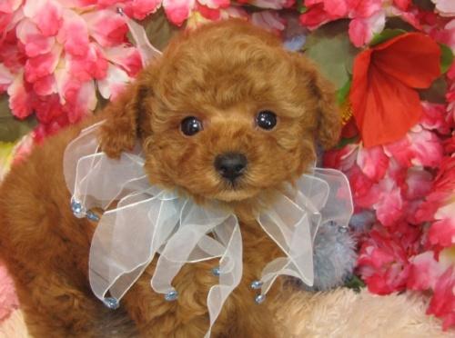 トイプードルの子犬(ID:1249511760)の1枚目の写真/更新日:2017-03-10