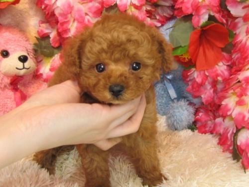 トイプードルの子犬(ID:1249511760)の3枚目の写真/更新日:2017-03-10