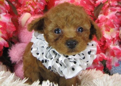 トイプードルの子犬(ID:1249511763)の1枚目の写真/更新日:2017-03-15