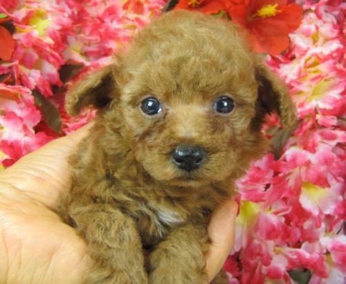 トイプードルの子犬(ID:1249511763)の2枚目の写真/更新日:2017-03-15