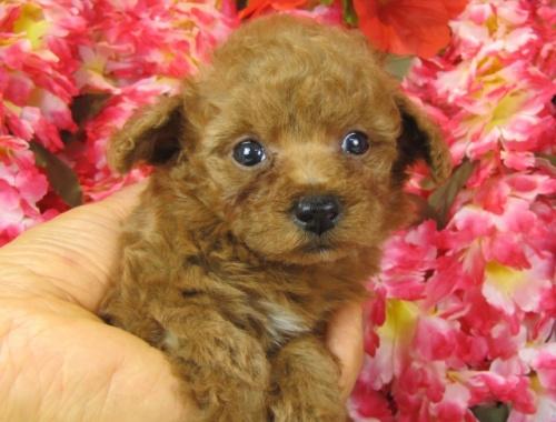 トイプードルの子犬(ID:1249511763)の3枚目の写真/更新日:2017-03-15