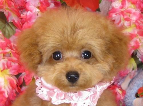 トイプードルの子犬(ID:1249511764)の1枚目の写真/更新日:2017-05-24