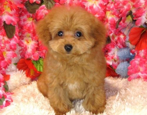 トイプードルの子犬(ID:1249511764)の2枚目の写真/更新日:2017-05-24