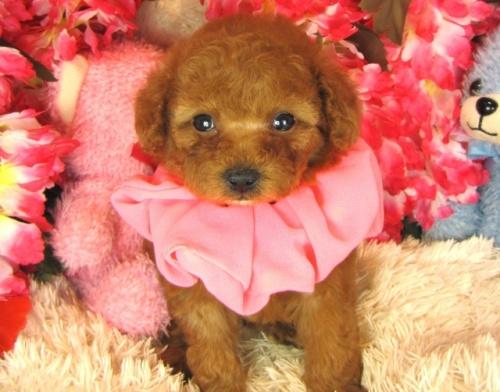 トイプードルの子犬(ID:1249511765)の1枚目の写真/更新日:2017-03-15