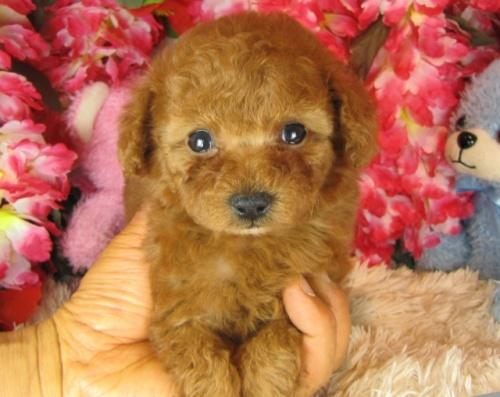 トイプードルの子犬(ID:1249511765)の2枚目の写真/更新日:2017-03-15