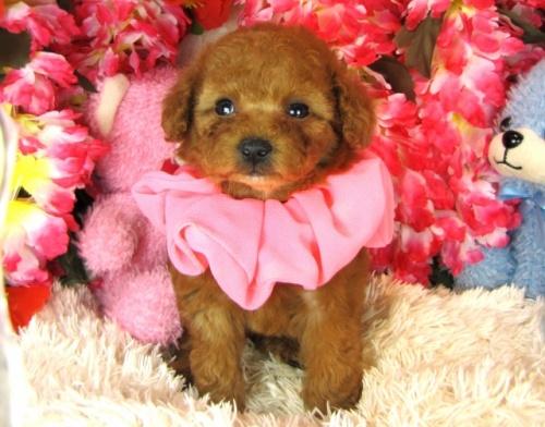 トイプードルの子犬(ID:1249511765)の3枚目の写真/更新日:2017-03-15