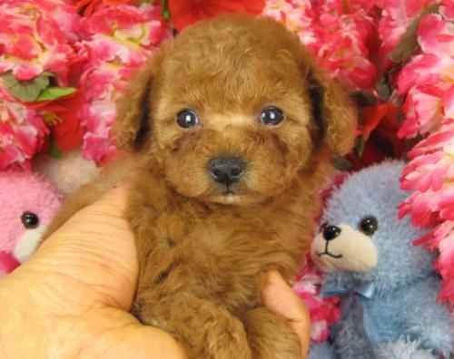 トイプードルの子犬(ID:1249511765)の4枚目の写真/更新日:2017-03-15