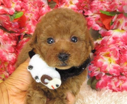 トイプードルの子犬(ID:1249511766)の1枚目の写真/更新日:2017-03-22